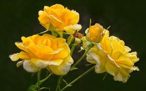 Картинка цветы, фон, чёрный фон, жёлтые розы