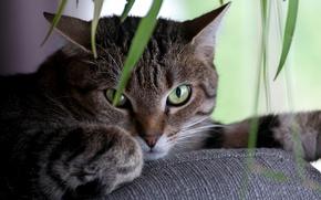 Картинка кошка, кот, взгляд