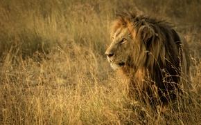 Картинка трава, лев, царь зверей, саванна, Африка, дикая кошка, Танзания