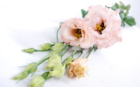 Картинка цветы, букет, бутоны, Эустома, Eustoma