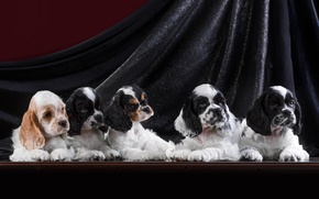Картинка щенки, спаниель, квинтет
