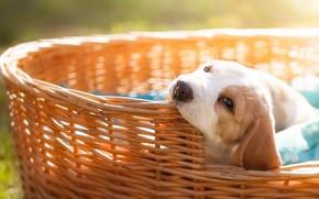 Картинка взгляд, фон, корзина, поляна, собака, мордочка, щенок, бигль