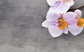 Картинка орхидея, pink, flowers, orchid