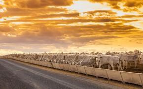 Картинка дорога, забор, скот