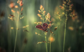 Картинка трава, макро, бабочка, колоски