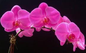 Картинка макро, фон, лепестки, орхидея, соцветие