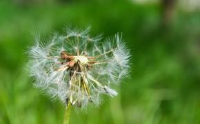 Картинка макро, цветы, природа, зеленый, растение, Одуванчик, пушинки