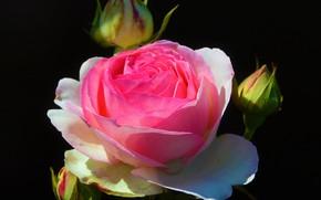Картинка Цветы, Роза, Пьер де Ронсар
