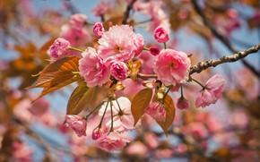 Картинка природа, вишня, дерево, розовый, ветка, весна, сад, flower