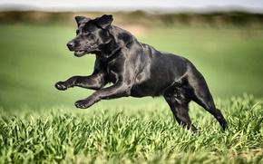 Картинка трава, собака, бег, чёрная, Лабрадор-ретривер