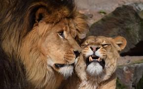 Обои Любовь, Львица, Пара, Лев, Нежность, Животные