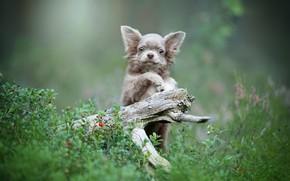 Картинка трава, природа, ягоды, пень, щенок