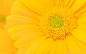 Картинка цветок, желтый, гербера