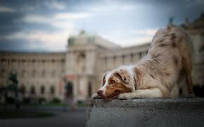 Картинка собака, боке, Австралийская овчарка, Аусси