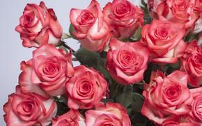 Обои розы, Лепестки, бутоны, Букет Роз