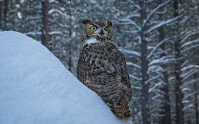 Картинка зима, снег, деревья, сова, птица, сугроб, Виргинский филин