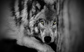 Картинка глаза, взгляд, волк