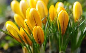 Картинка макро, радость, цветы, природа, красота, растения, весна, крокусы, первоцветы, дача, флора, жёлтый цвет, луковичные