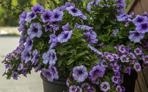 Картинка Букет, Bouquet, Голубые цветы, Blue flowers