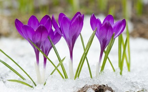 Картинка снег, фиолетовые, крокусы, боке, крупным планом