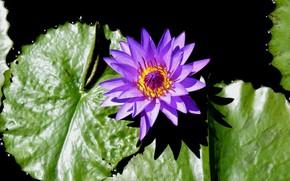 Картинка Macro, Water lily, Водяная лилия, Фиолетовый цветок, Purple flower