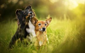Картинка лето, трава, боке, две собаки