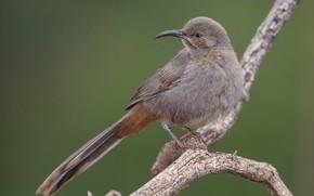 Картинка птица, ветка, клюв, хвост, красногузый кривоклювый пересмешник