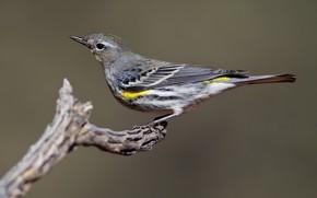 Картинка птица, ветка, клюв, миртовый лесной певун