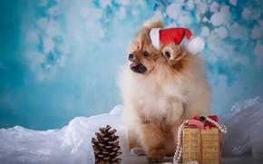Картинка подарок, собака, щенок, ткань, шишка, шапочка