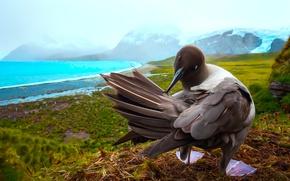 Картинка скалы, морская птица, Южная Джорджия, Южная Георгия и Южные Сандвичевы Острова, южная Атлантика, Гавань Голд, …