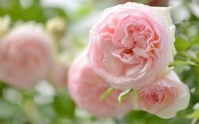 Картинка макро, нежность, розы, лепестки, розовые, бутоны, боке