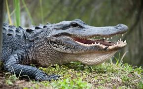 Картинка predator, crocodile, reptile