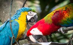 Картинка пара, птицы, попугаи, ары