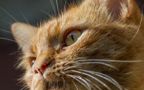 Картинка глаза, усы, рыжий, котейка
