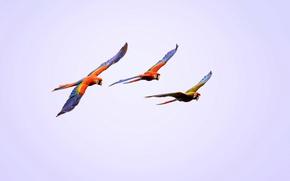 Картинка полет, птицы, крылья, попугай, ара