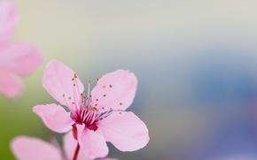 Обои сад, цветок, лепестки, весна