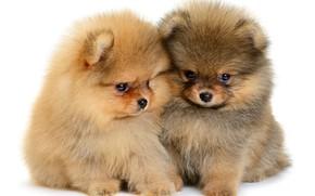 Картинка щенки, пушистые, малыши, puppy, милые, шпиц