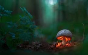 Обои лес, макро, свет, гриб, боке