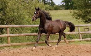 Картинка лето, движение, конь, лошадь, бег, рысь, загон, бурый, аллюр