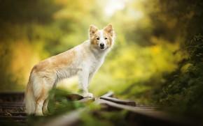 Картинка рельсы, рыжий, пёс, боке