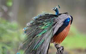 Картинка птица, перья, хвост, павлин, боке