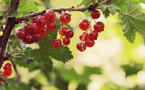 Картинка ягоды, куст, смородина
