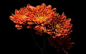 Обои огненные, черный фон, лепестки, георгины, яркие, оранжевые, букет, цветы