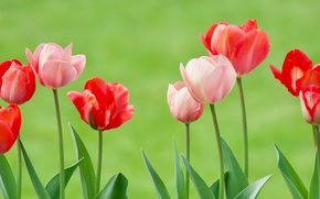 Картинка фон, тюльпаны, бутоны