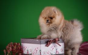 Картинка коробка, щенок, порода, шпиц