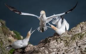 Обои природа, птица, олуша, камень