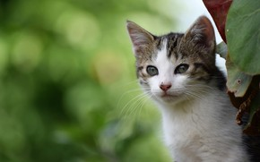 Картинка взгляд, фон, мордочка, котёнок, боке, котейка