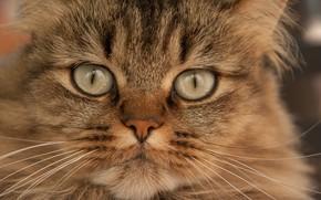 Обои кошка, взгляд, портрет, мордочка, котейка, кот
