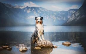 Картинка горы, природа, озеро, камни, собака, Австралийская овчарка, Аусси