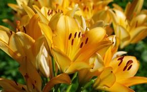 Обои лето, луковичные, тычинки, флора, природа, растения, пестики, лилии, множество, красота, цветы
